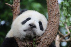 Panda China schläft